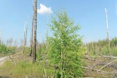 Das Ödland vom Waldbrand im Jahre 2010 wird mit Birken in Mittel-Russland überwältigt Stockfotografie