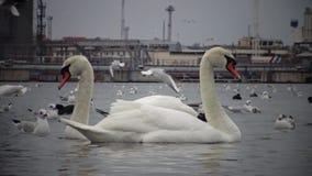 Das ökologische Problem ist Höckerschwäne, Enten und Seemöwen im Seehafenwasser stock footage