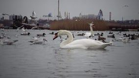 Das ökologische Problem ist Höckerschwäne, Enten und Seemöwen im Seehafenwasser stock video