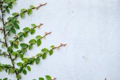Das abstrakte Naturhintergrund copyspace der grünen Kriechpflanzen-Anlage Lizenzfreies Stockfoto