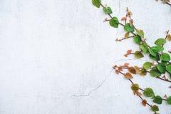 Das abstrakte Naturhintergrund copyspace der grünen Kriechpflanzen-Anlage Stockfoto