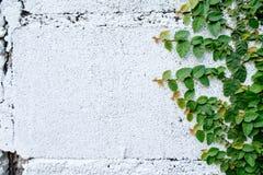 Das abstrakte Naturhintergrund copyspace der grünen Kriechpflanzen-Anlage Lizenzfreies Stockbild