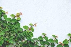 Das abstrakte Naturhintergrund copyspace der grünen Kriechpflanzen-Anlage Stockbilder