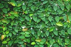 Das abstrakte Naturhintergrund copyspace der grünen Kriechpflanzen-Anlage Lizenzfreie Stockfotos