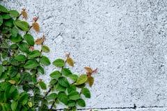 Das abstrakte Naturhintergrund copyspace der grünen Kriechpflanzen-Anlage Lizenzfreie Stockfotografie