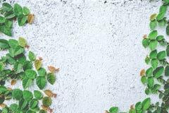 Das abstrakte Naturhintergrund copyspace der grünen Kriechpflanzen-Anlage Stockfotografie