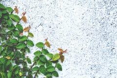 Das abstrakte Naturhintergrund copyspace der grünen Kriechpflanzen-Anlage Lizenzfreie Stockbilder