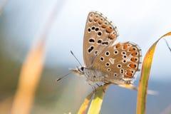 Das Adonis-Blau u. das x28; Polyommatus-bellargus& x29; auf einem Grashalm Lizenzfreie Stockfotografie