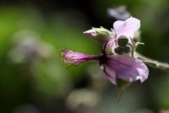 Das afrikanische Malvaceae Abutilon longicuspe Stockfotos