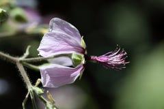 Das afrikanische Malvaceae Abutilon longicuspe Lizenzfreie Stockbilder