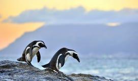Das afrikanische Pinguin Spheniscus demersus Berühmter Kanonkop Weinberg nahe malerischen Bergen am Frühling Lizenzfreie Stockfotos