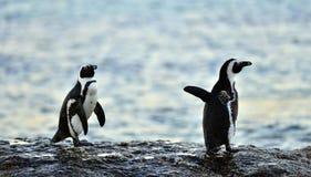 Das afrikanische Pinguine Spheniscus demersus Stockbilder