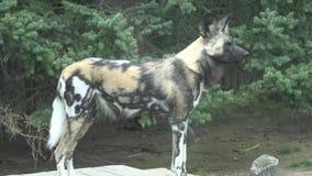 Das afrikanische wilder Hund-Lycaon-pictus stock video footage