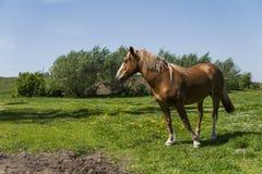 Das allein braune Pferd auf einer Kette weiden lassend auf grüner Weide mit einem Gelb blüht gegen blauen Himmel und Bäume bewirt Lizenzfreie Stockfotografie