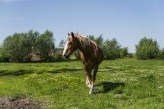 Das allein braune Pferd auf einer Kette weiden lassend auf grüner Weide mit einem Gelb blüht gegen blauen Himmel und Bäume bewirt Lizenzfreies Stockfoto