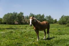 Das allein braune Pferd auf einer Kette weiden lassend auf grüner Weide mit einem Gelb blüht gegen blauen Himmel und Bäume bewirt Stockfotos