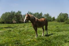 Das allein braune Pferd auf einer Kette weiden lassend auf grüner Weide mit einem Gelb blüht gegen blauen Himmel und Bäume bewirt Lizenzfreie Stockfotos