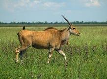 Das allgemeine bunte Feld der Elenantilope im Frühjahr Stockfotografie