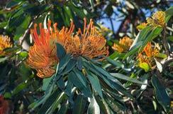 Das Alloxylon-flammeum, allgemein bekannt als das Queensland-Baum waratah oder die rote seidige Eiche mit seiner roten blühenden  stockbilder