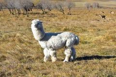 Das Alpaka auf der Wiese im Herbst lizenzfreie stockbilder