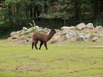 Das Alpaka in einem Zoo lizenzfreie stockfotografie