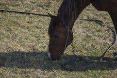 Das alte Pferd isst ein Gras auf einer Wiese Lizenzfreie Stockbilder