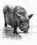 Das alte Schwein Stockfotografie