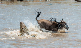 Das Antilope Streifengnu (Connochaetes taurinus), hat zu einem Angriff eines Krokodils durchgemacht Lizenzfreie Stockfotografie
