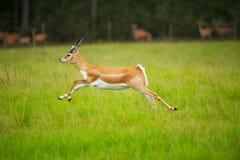 Das Antilopen-Springen Stockbild