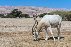 Das Antilopenwüstenkuh Wüstenkuh nasomaculatus Lizenzfreie Stockfotos