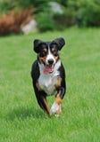 Das Appenzeller Sennenhund Lizenzfreie Stockbilder