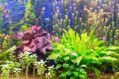 Das Aquarium mit mehrfarbigen Algen und exotischen Fischen Lizenzfreies Stockfoto
