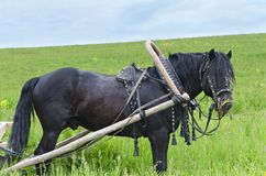 Das Arbeitspferd im Geschirr Lizenzfreie Stockbilder