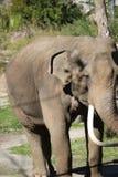 Das asiatischer Elefant Elephas maximus stockbilder