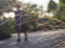 Das Auftraggras oder das Pennisetum polystachion Stockbilder