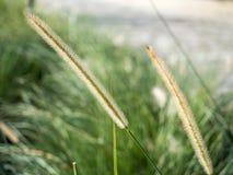Das Auftraggras oder das Pennisetum polystachion Lizenzfreie Stockfotografie