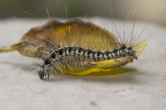 Das Aufwecken Caterpillar Stockbilder