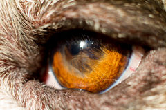 Das Auge der Bulldogge Lizenzfreie Stockbilder