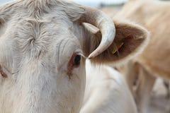 Das Auge der Kuh Stockbild