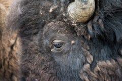 Das Auge des Bisons Stockbilder