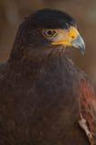 Das Auge des Falken stockfotos