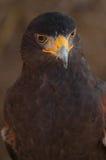 Das Auge des Falken lizenzfreie stockbilder