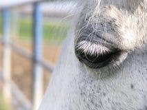 Das Auge des weißen Pferds Stockfotografie