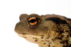 Das Auge einer Kröte Lizenzfreies Stockfoto