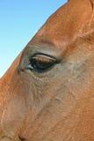 Das Auge u. die Backe des Pferds Stockbild