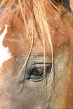 Das Auge u. die Stirn des Pferds Stockfotografie