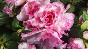 Das Azaleenblumenweiß mit rosa Tupfen Lizenzfreies Stockbild