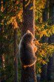 das Bär-Junge, das Gefahr gerochen wird, sind auf einer Kiefer geklettert lizenzfreie stockfotografie