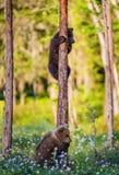 das Bär-Junge, das Gefahr gerochen wird, sind auf einer Kiefer geklettert stockfotos
