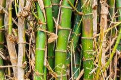 Das Büschel des Bambusses Stockfoto